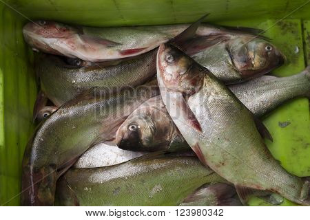 Fresh Catched Fish on Green Basket Brought for Sale