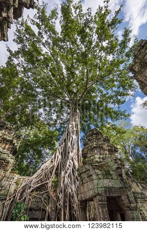 Huge Tree On Architecture Ruins
