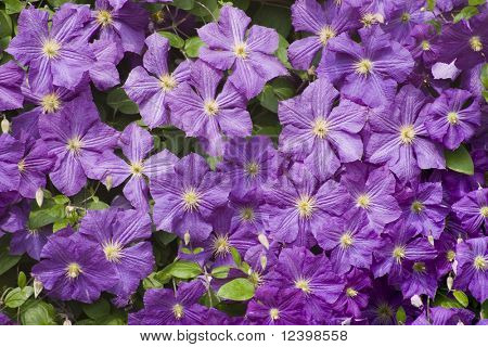clematis background
