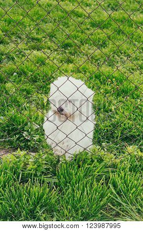 Little maltese dog behind a wire fence