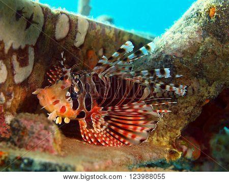 The surprising underwater world of the Bali basin, Island Bali, Pemuteran. Scorpionfish