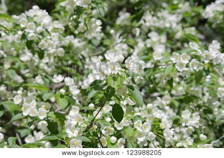 big beautiful apple blossom branches as a background image