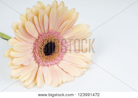 Yellow Gerber flower on a white background