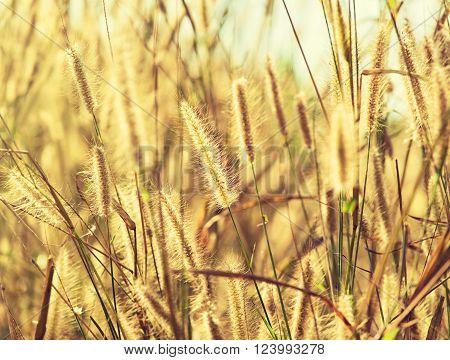 field of grass spikelets in summer sunlight .  Spikelets of grass against a rising sun.