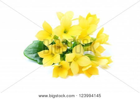 Flowers yellow Kalanchoe isolated on a white background.