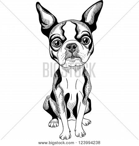 Vector black and white Serious dog Boston Terrier breed sitting