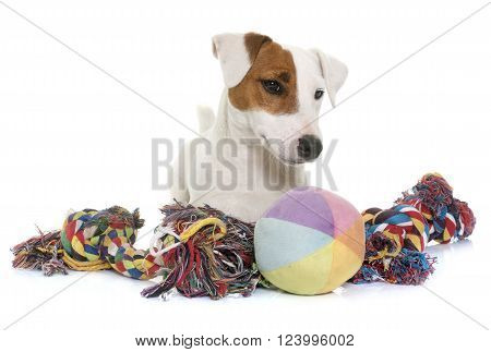 young jack russel terrier and toys in front of white background