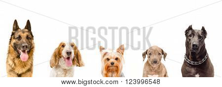 Portrait of five dogs together isolated on white background
