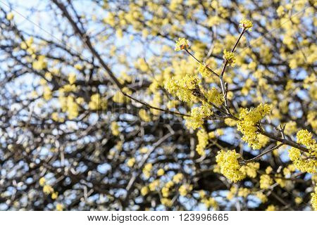 Cornus mas, Cornelian cherry, European cornel, dogwood, flowering plant in the dogwood Cornaceae.