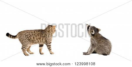 Scottish Straight cat and raccoon together, rear view, isolated on white background