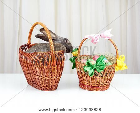 Grey bunny in the basket reaches for the Easter basket