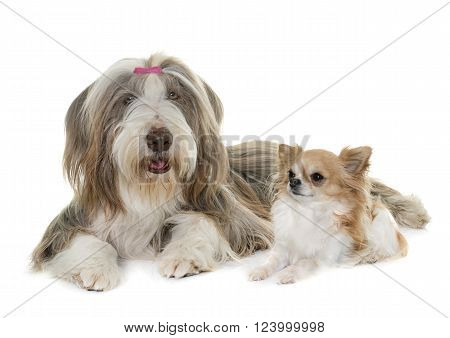 female bearded collie and chihuahua in front of white background