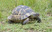 picture of testudo  - a spur - JPG