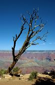 Lonely Tree, Grand Canyon, Az