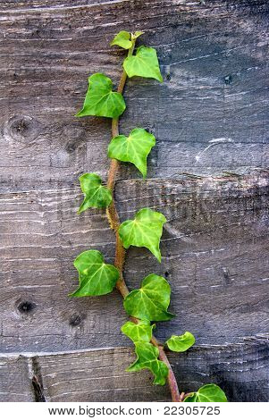 Green Growth - Hedera helix on Wood