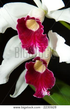 Orchids Flowers (Cattleya Sp)