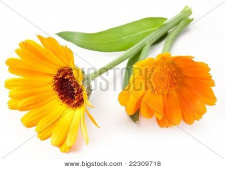 Calendula flower isolated on a white background.