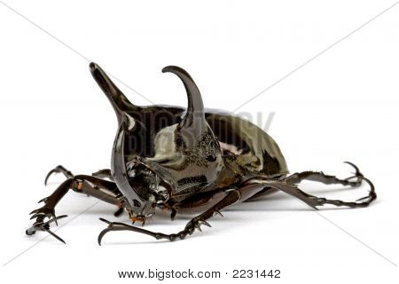 Rhinocerous Beetle