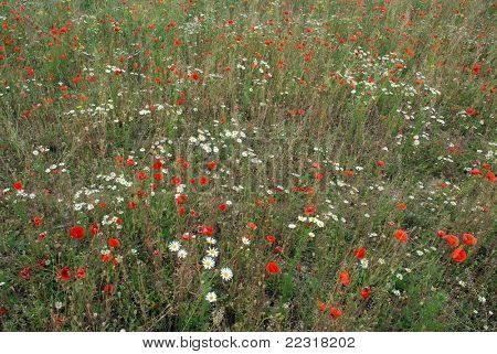 Summer meadow of poppies and daisies