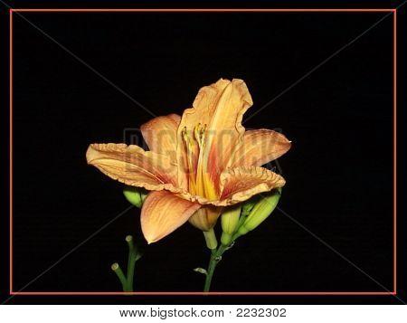Orenge Flower
