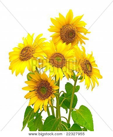 A Bouquet Of Sunflowers Blooming On A White Background