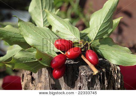 Cornelian cherries