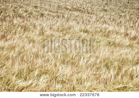 The Barley