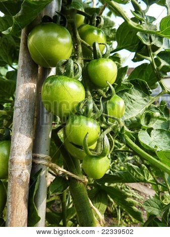 Green Tomatoes Growing