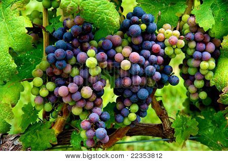 Grapes Ready To Harvest