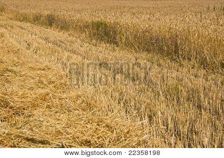 campo de centeio