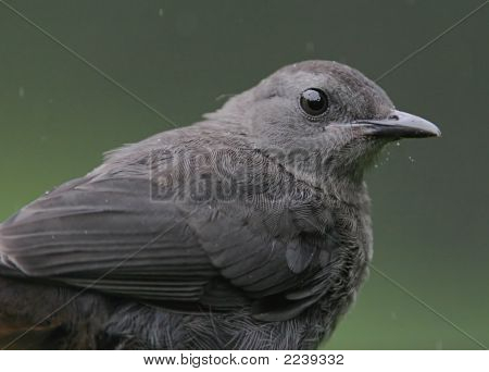 Gray Catbird In The Rain