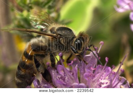 Bee Feeding (Apis Mellifera)