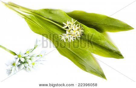 Ramson (bear allium victorialis)