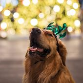 Portrait Of Golden Retriever With Bokeh poster