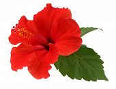 picture of hibiscus  - a red hibiscus flower isolated on white background - JPG