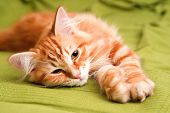 Young Siberian Cat Sleeping poster