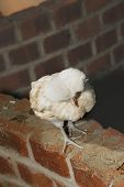 foto of frizzle  - image of polish frizzle chicken on brick wall - JPG