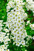 stock photo of meadowsweet  - Beautiful white spiraea (meadowsweet) flowers with a bug in spring