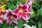 picture of stargazer-lilies  - Lilium stargazer is a hybrid lily of the Oriental group - JPG