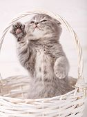 Grey Scottish Fold Kitty Standing On The Hind Legs In Basket. Showing Hello With Paw poster