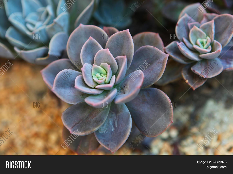 Peacock echeveria cactus stock photo stock images bigstock - Rempoter une plante grasse ...