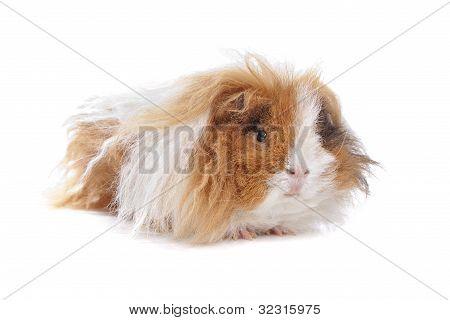 Long Haired Guinea Pig