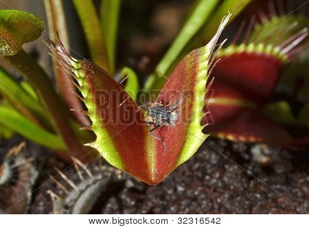 carnivorous plant with prey