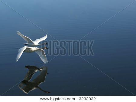 Dois cisnes voando em Tandem