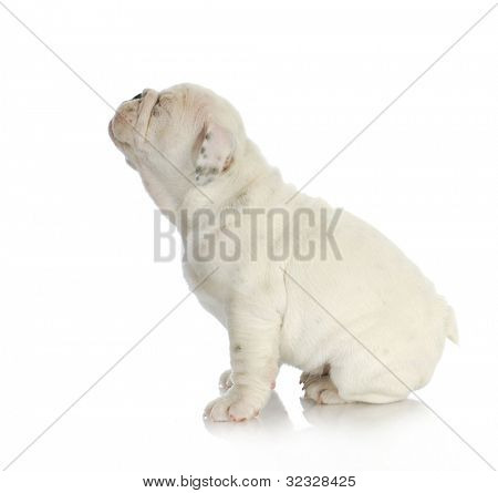 cute puppy - english bulldog puppy squinting - 8 weeks old
