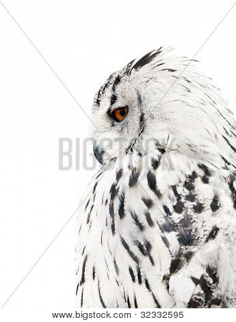 big grey owl isolated on white background