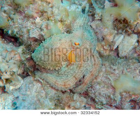 Camouflaged Mediterranean octopus
