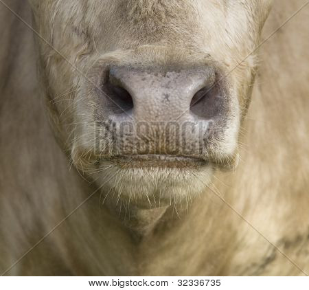 Cows Mouth