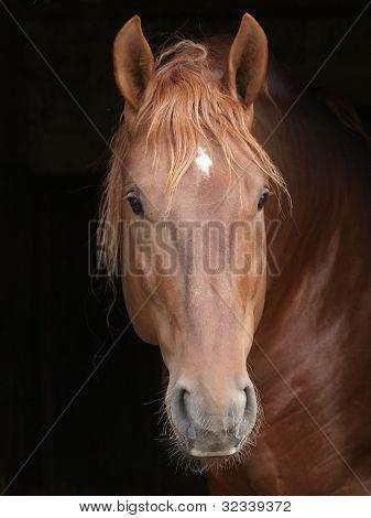 Stallion Against Black Background