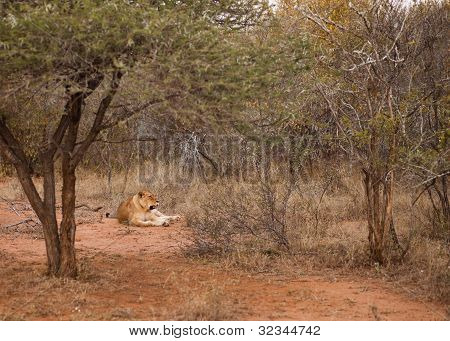 Lion Laying In The Bush